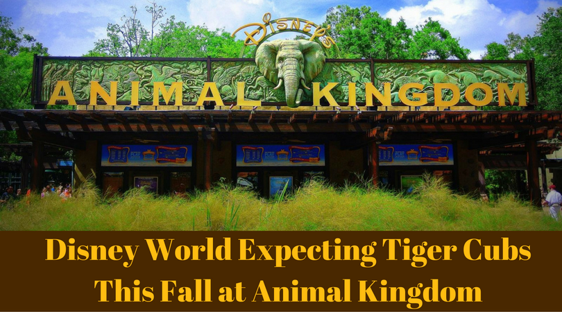 Disney World Expecting Tiger Cubs This Fall at Animal Kingdom